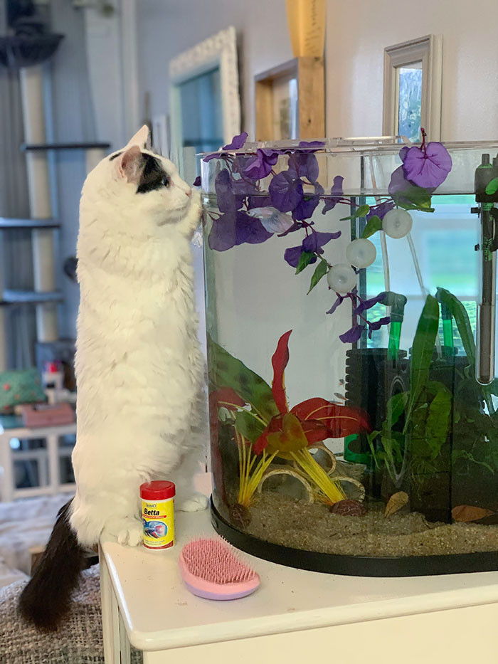 45. Adopted A 3 Legged Street Cat From Greece. He Has Just Discovered The Resident Betta Fish