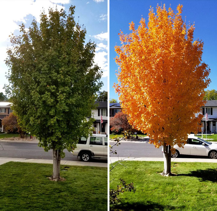 The Difference 11 Days Can Make For This Maple Tree