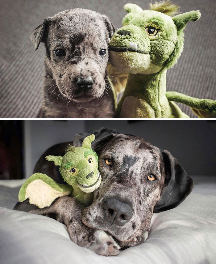 #2 Pupper at 2 weeks old vs full grown with his favorite toy.