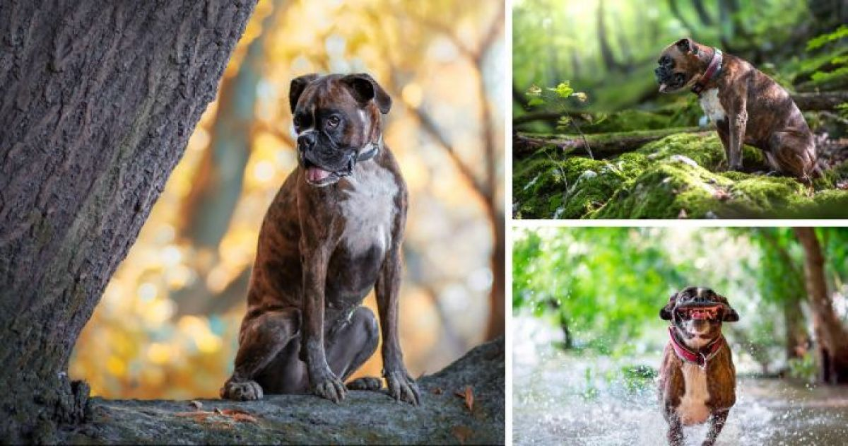 14 Photos of a Boxer Dog Guaranteed to Make You Fall in Love