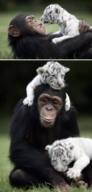 41. Anjana The Chimpanzee And Tiger Cubs