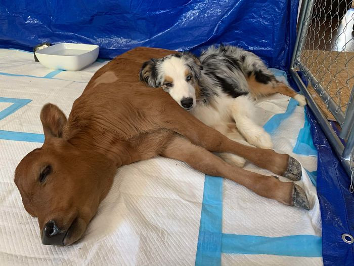 48. Dog And Newly Rescued Calf Who Are Best Friends At The Gentle Barn
