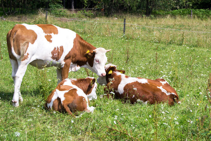 #26 Cows Take Turns In Babysitting Their Young. One Will Stay With The Calves While Other Moms Graze Further Away