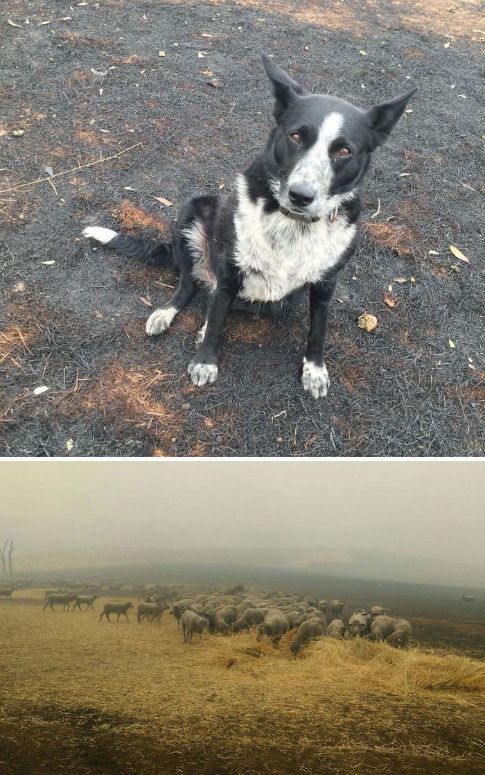 #10 This dog saved a flock of sheep from the fire.