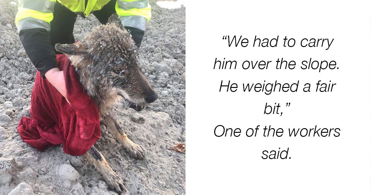 Man Rescues Dog From Icy Waters But It's Actually a Wolf