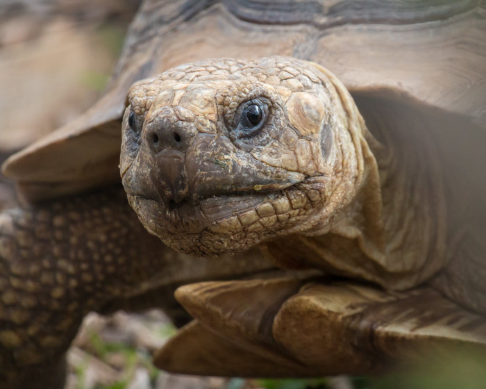 Pinzon is an island in the Galapagos Islands. It is a place that many incredible animals call home. Including giant tortoises.
