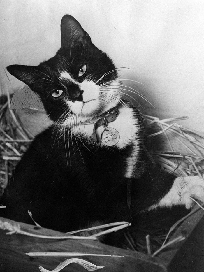 #21 Simon, The Cat Who Served As An Exterminator And Motivator On HMS Amethyst