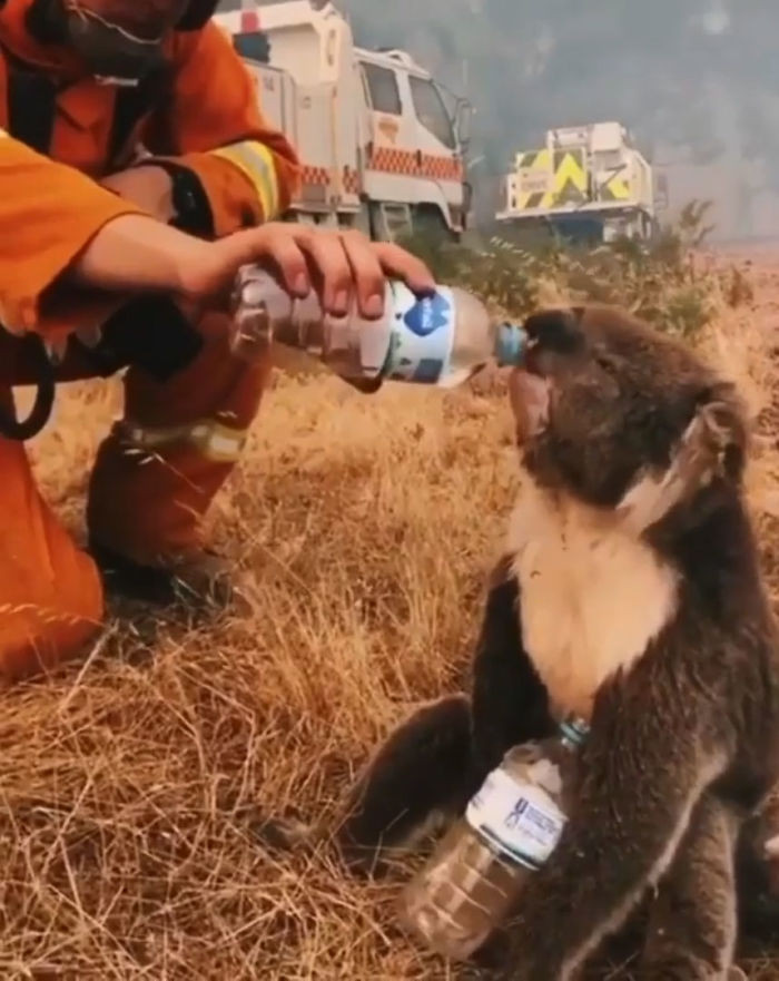 #19 A koala drinks water from a bottle