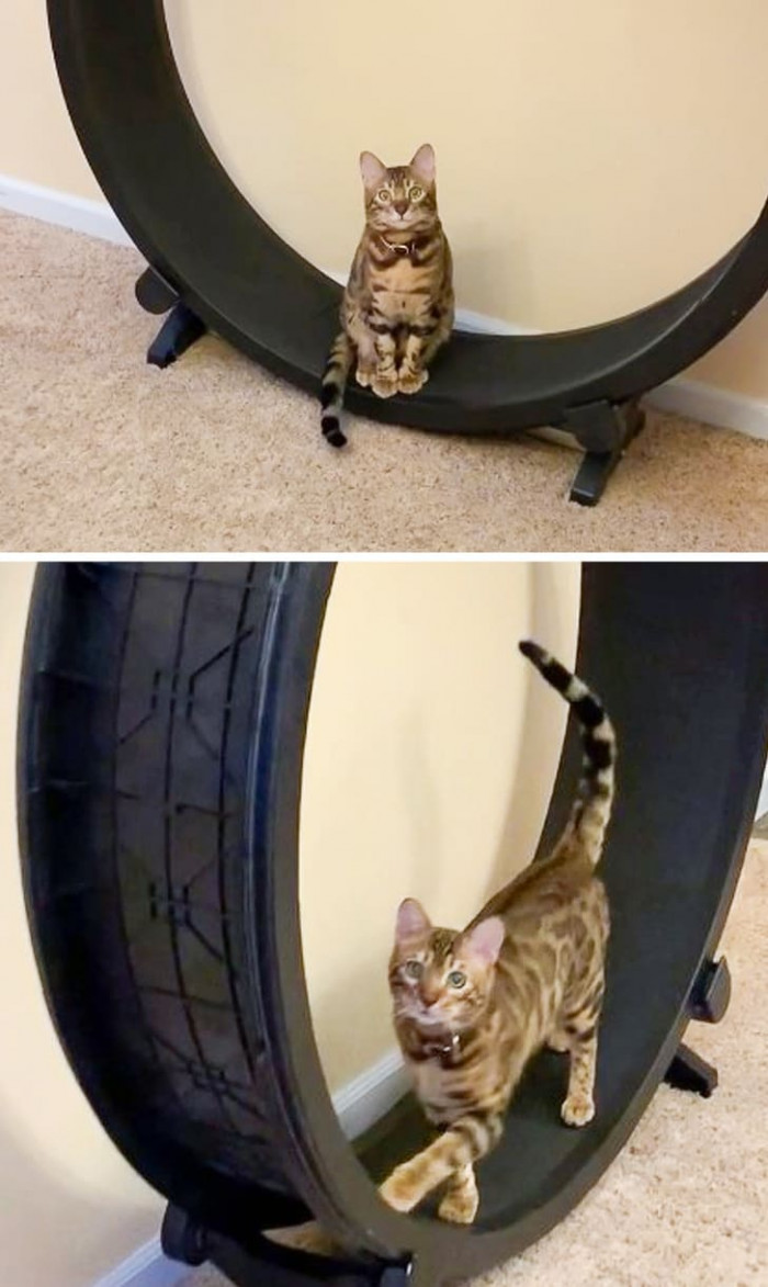 Cheddar the cat is so proud of himself, he wants his hooman to go up to him and watch him on the wheel.