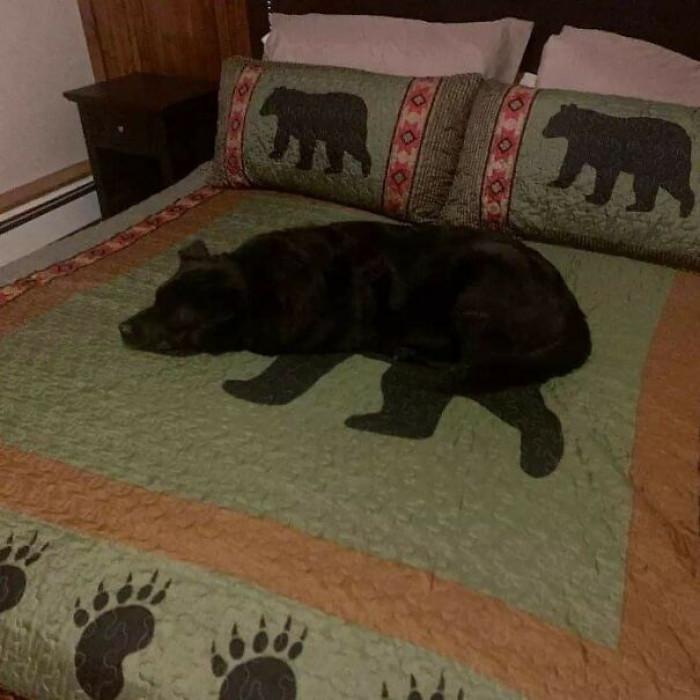12. Bear-doggo hybrid