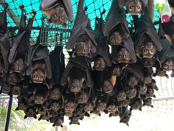These bats have a wingspan of five feet