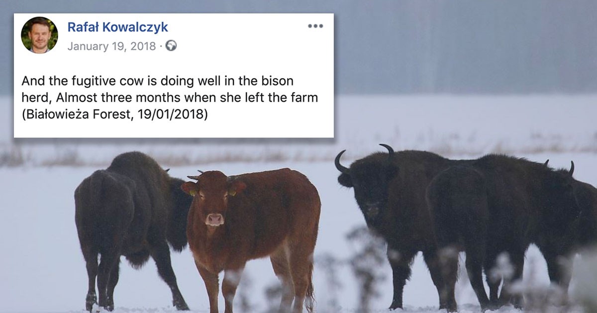 Cow Escaped From A Farm And Joined A Nearby Wild Bison Herd