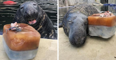 Adorable Seal Was Surprised With A Giant Ice Fish Cake On His 31st Birthday, And He Loved It