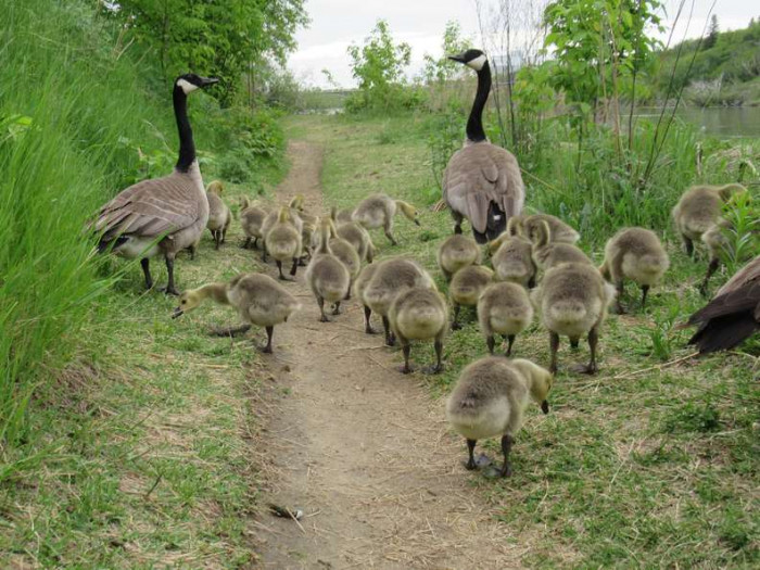"""""""I was stunned that this mom had 16 babies, so I started going back every night looking for this mom and her goslings,"""" Mike said. """"And every day it seemed like she had a bigger group."""""""