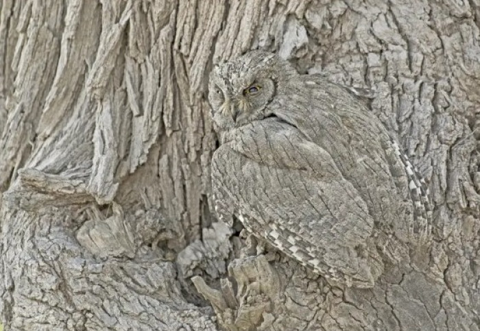 #7 This pallid scops owl camouflaging itself perfectly against the tree bark.