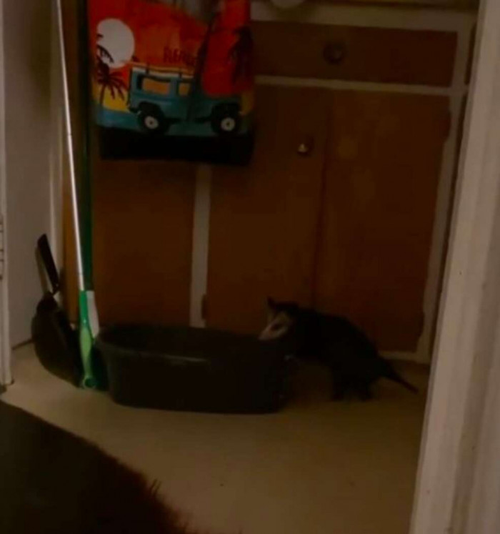 From his actions and activities, it appears that the possum aspired to be a part of the cat group.