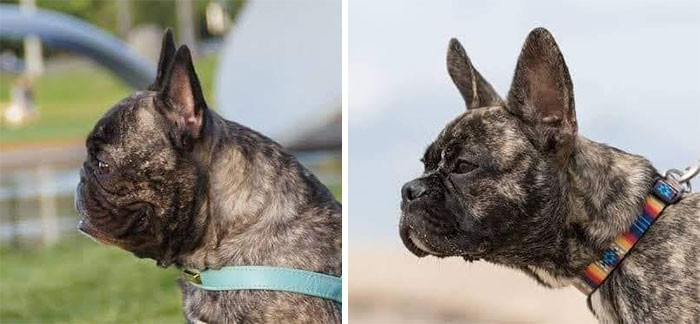 Chantal says she hopes to create a healthier version of the French bulldog.