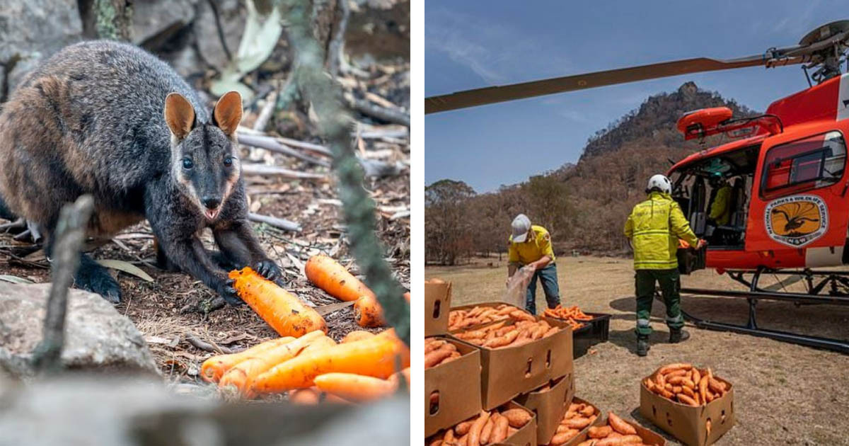 Starving Animals In Australia Receive Help From Above As Planes Drop Thousands Of Pounds Of Potatoes And Carrots