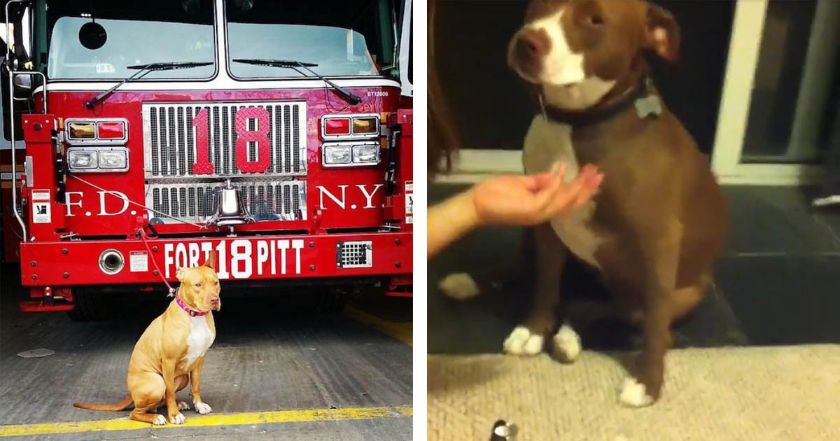 Overly Dramatic Pit Bull Falls Over During A Nail Trimming Captured On Video