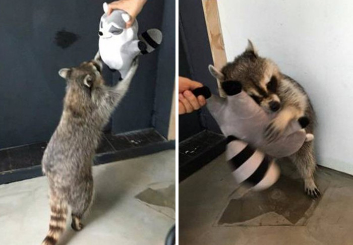 29. Raccoon and his toy