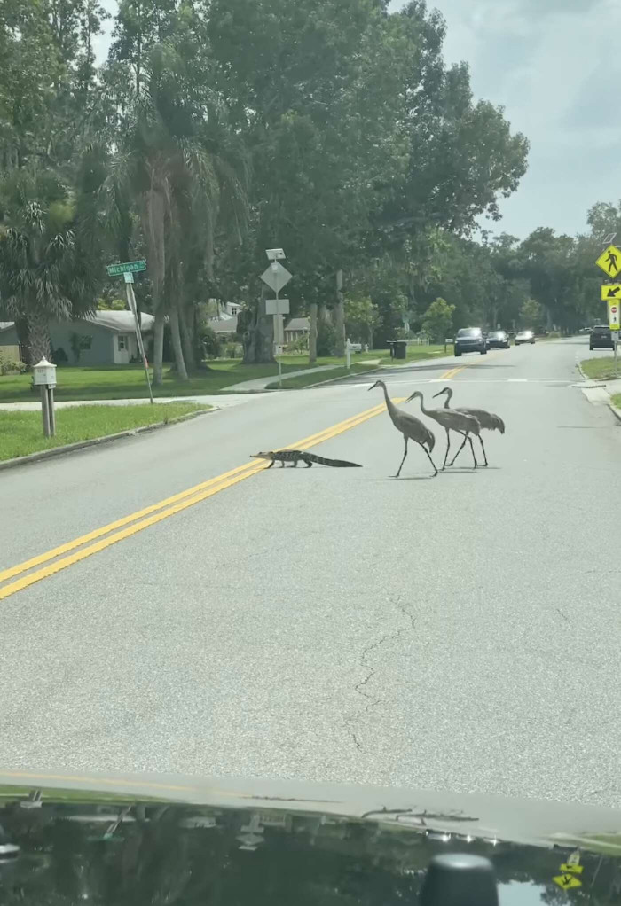 Family Of Cranes Guiding Baby Allegator Back To His Pond