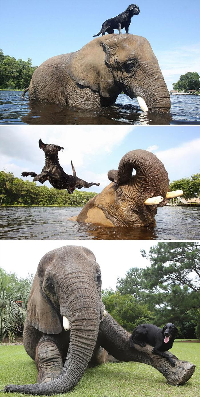 29. Bubbles The African Elephant And Bella The Black Labrador