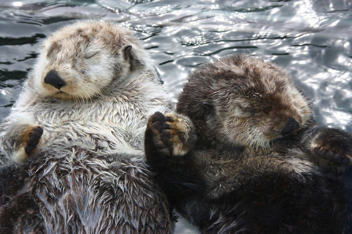 #2 Sea Otters Hold Hands While They're Sleeping So That They Don't Drift Apart