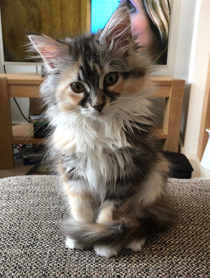These Super Fluffy Maine Coon Kittens Are SO Small It's Hard To